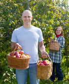 Man and woman picks apples — Stock Photo