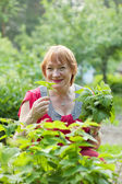 Woman gathers raspberry leaves — Stock Photo