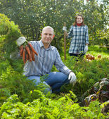 Couple harvesting carrots — Stock Photo