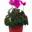 Blooming cyclamen in  pot. Isolated on white — Stock Photo