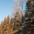 Winter forest  in sunny day - Stock Photo