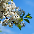 Cherry tree branch in spring blooms garden — Stock Photo