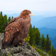 Eagle on rock — Stock Photo #25916029