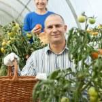 mulher e homem em tomateiro — Foto Stock