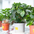 Stock Photo: Shelves with hibiscus in pots