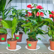 Stock Photo: Shelves with anthurium in flower shop