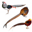 Set of Pheasant birds. Isolated over white — Stock Photo