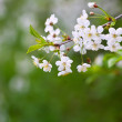 Tree branch in bloom — Stock Photo #25917349