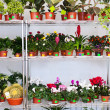 Stock Photo: Shelves with flowers in pots