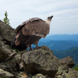 Griffon vulture in wildness — Stock Photo #25917947