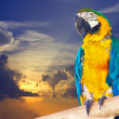 Stock Photo: Green-winged macaw against sunset