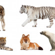 Set of Carnivora mammal. Isolated over white — Стоковая фотография