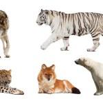 Set of Carnivora mammal. Isolated over white — Stock Photo