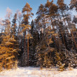 Landscape with  pine forest  in sunny  day — Stock Photo