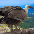 Griffon vulture — Stock Photo #25919515