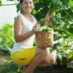 Mature woman harvesting cucumbers — Stock Photo #25919589
