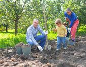 Familia cosechar patatas en jardín — Foto de Stock