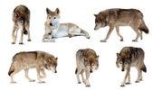 набор нескольких волков над белый с оттенком — Стоковое фото