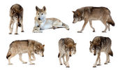 Set of few wolves over white with shade — Stock Photo
