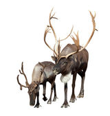 Dwóch reniferów — Zdjęcie stockowe