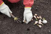 Gardener sets garlic in soil — Stock Photo