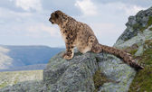 Snow leopard at wildness area — Stock Photo
