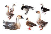 Set of few geese over white — Stock Photo