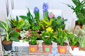 Shelves with Schlumbergera in pots — Stock Photo