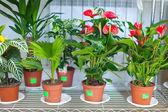 Półki z anturium w kwiaciarni — Zdjęcie stockowe