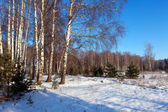 Winter lanscape with birch trees — Stock Photo