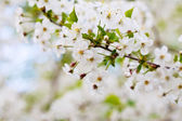 Cherry tree branch against blur background — Stock Photo