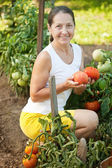Mature woman picking tomato — Stock Photo