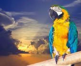 Green-winged macaw against sunset — Stock Photo