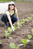 Gardener planting cabbage spouts — Stock Photo