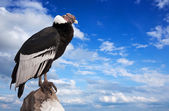 Andean condor against sky — Stock Photo