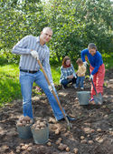 Family harvesting potatoes — Stock Photo