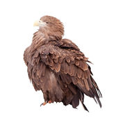 Tawny eagle. Isolated over white — Stock Photo