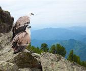 Couple of Griffon vulture — Stock fotografie