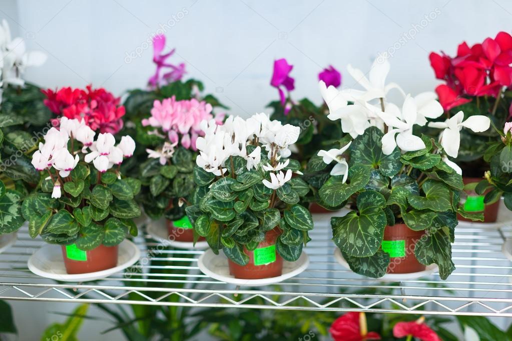 仙客来盆栽花卉店