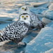 Snowy Owl  at ice area — Stock Photo