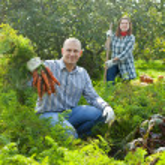 Couple harvesting carrots — Stock Photo
