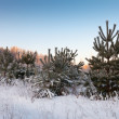 Wintry landscape with pines — Stock Photo #27491685