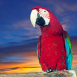 Stock Photo: Macaw papagay against dawn