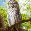 Great Grey Owl   at forest — Stock Photo