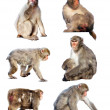 Set of few Japanese macaques. Isolated over white — Stock Photo