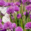 Stock Photo: Allium plant with Butterflies