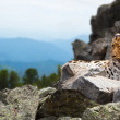 Leopard on rock — Stock Photo #27494209
