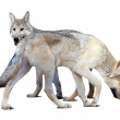 Stock Photo: Wolves over white