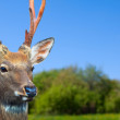 Stock Photo: Head of Sikdeer