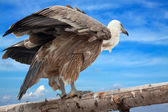 Griffon vulture against sky — Stock Photo